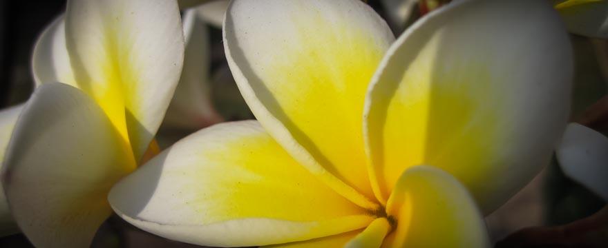 Frangipanis auf Bali und Lombok